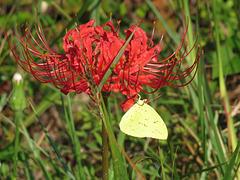 Cloudless sulfur (Phoebis sennae) on Lycoris radiata