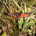 Cinnibar Moth, Different View #01