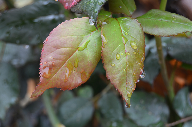 Le rosier sous la pluie