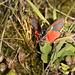 Cinnibar Moth, Different View #02