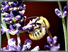 Lavendel - Hummel... ©UdoSm