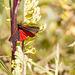 Cinnibar Moth #02