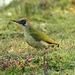 Mrs Green Woodpecker