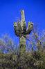 another Saguaro - 1986