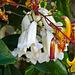 Wonga flowers