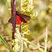 Cinnibar Moth #01