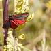 Cinnibar Moth #04