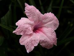Flor, Ruelia