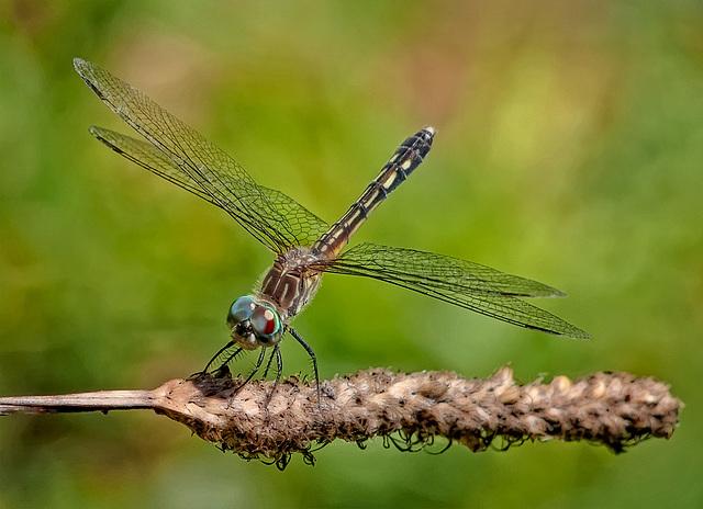 8228542dL  Dragonfly