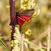 Cinnibar Moth #03