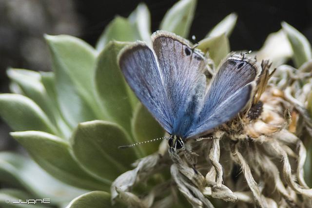Lampides boeticus (Linnaeus, 1767)