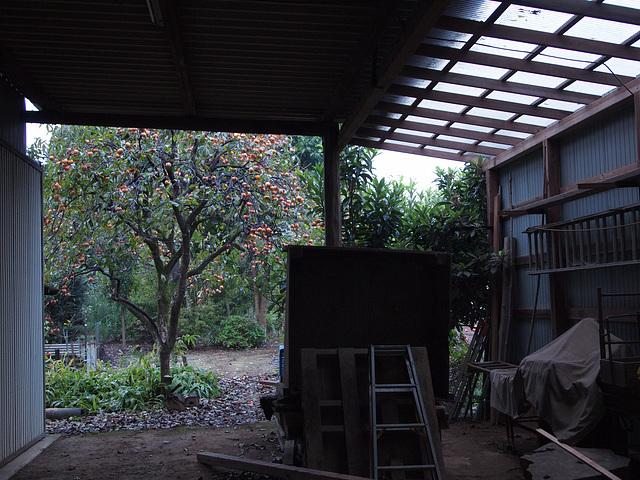 Persimmon tree in the yard