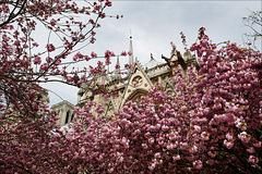 Paris, Notre Dame en rose, IL Y A 3 ANS...