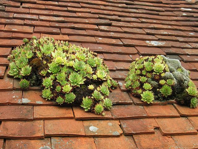 Roof Sedums (?) Great Dixter.