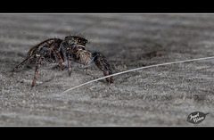 118/366: Jumping Spider with a Molly Hair