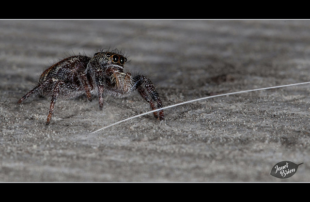 116/366: Jumping Spider with a Molly Hair