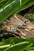 19-05-06 - 40 - Pointe Noire - Zoo Parc des Mamelles - Jaguar
