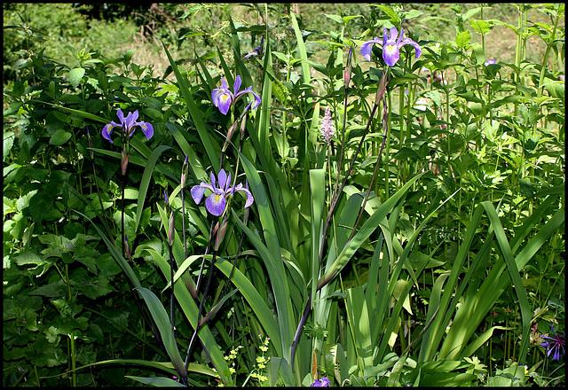Iris x robusta (1)