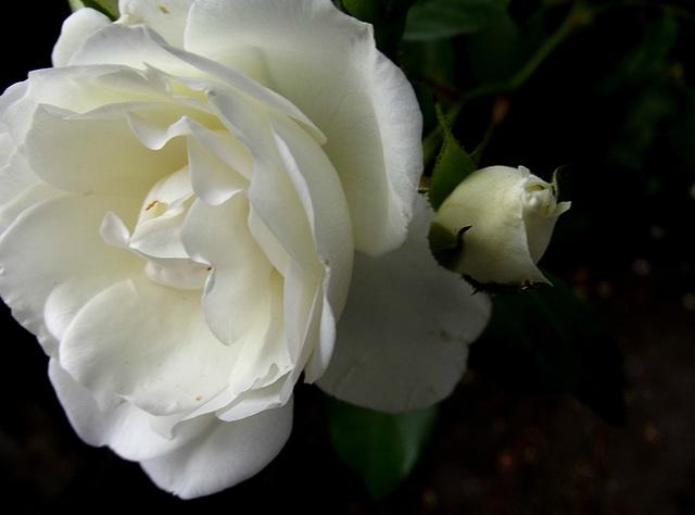 Shady rose