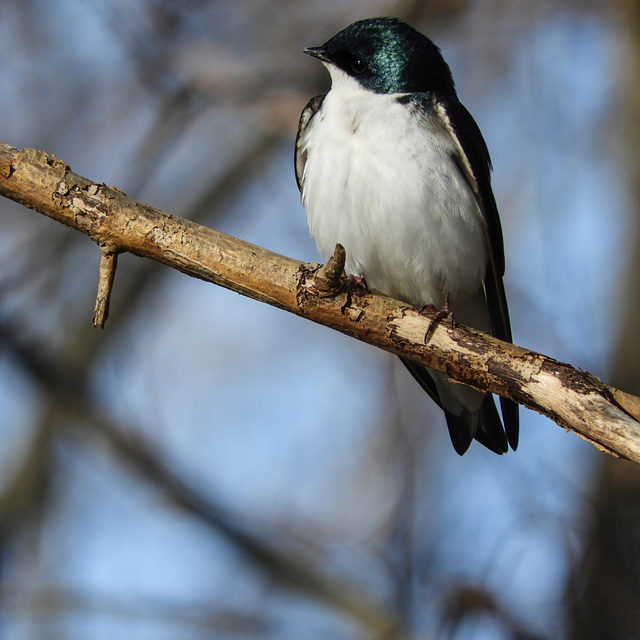 Tree Swallow, Pt Pelee, Ontario