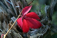 Une touche de couleur sur une vieille branche blessée. .