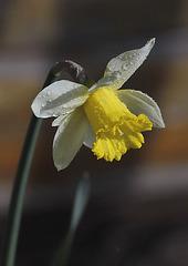 Narcisse humide