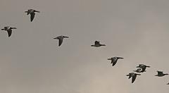 Migration de Bernaches Nonnettes