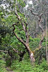 Urwald, Regenewald in der Levada do Furada Madeira