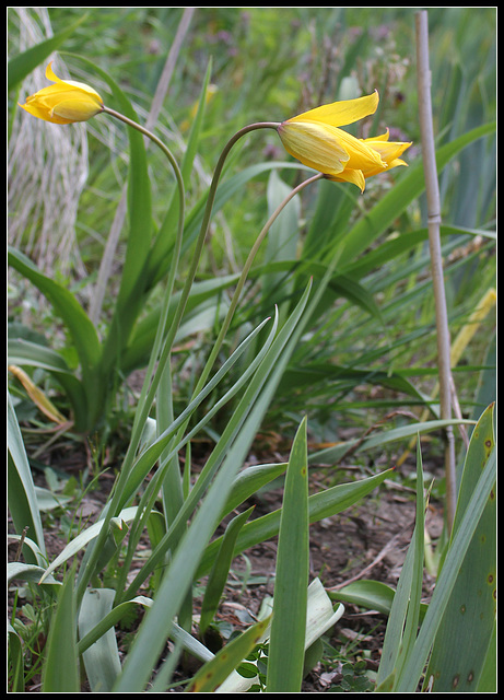 Tulipa australis (4)