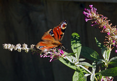 Peacock butterfly on Buddleia.