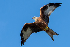 Red Kite-DSA 9011