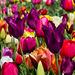 Tulpenpracht ++ tulips splendor