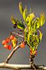 Baum vorm Fenster: neue Knospen, alte Früchte