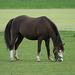Niederlande - Pferde in Egmond DSC09487