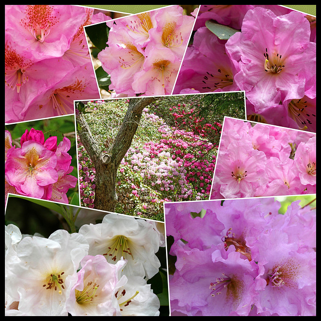 Celebrate the rhododendrons