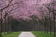 Rhapsodie in rosa
