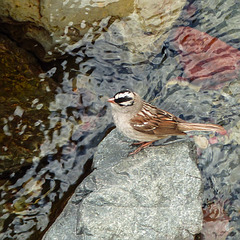 White-crowned Sparrow / Zonotrichia leucophrys