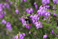 Red tailed Bee on Heather