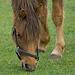 Niederlande - Pferde in Egmond DSC09486