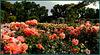 Rose garden, Parque del Buen Retiro, Madrid