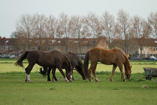 Niederlande - Pferde in Egmond DSC09475