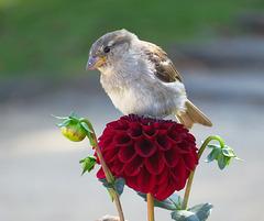 Sparrow sitting on a Dahlia. Seaside resort Bansin, Baltic Sea.