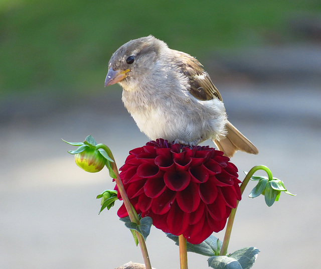 Sparrow sitting on a Dahlia. Seaside resort Bansin, Baltic Sea.