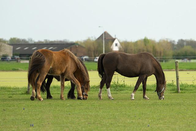 Niederlande - Pferde in Egmond DSC09472