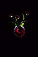 Rose 18/50 : out of the darkness
