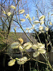 Pussy willow.