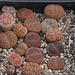 Lithops Mix - Sämlinge