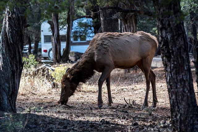 An elk2