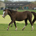 Niederlande - Pferde in Egmond DSC09471