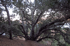 Grandmother Oak (1312)